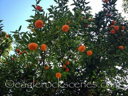 Clementines in Eagle Rock