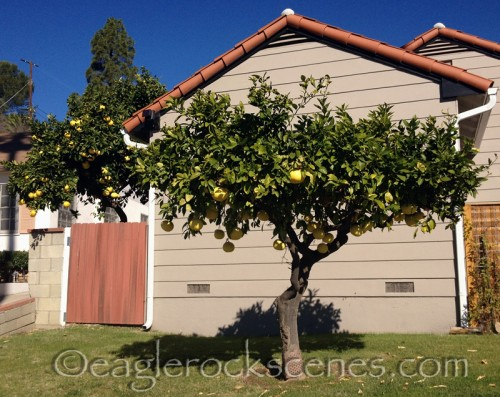 In Eagle Rock, CA you can grow your own grapefruit.