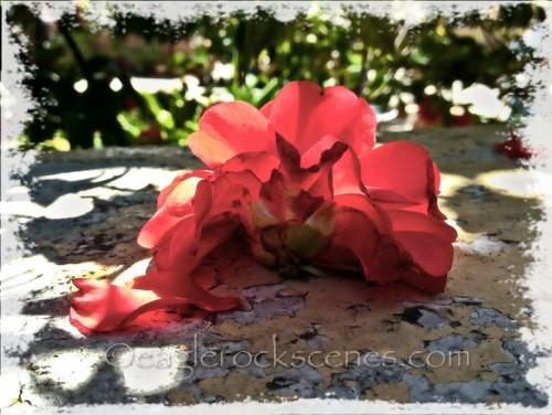 A Forgotten Camellia