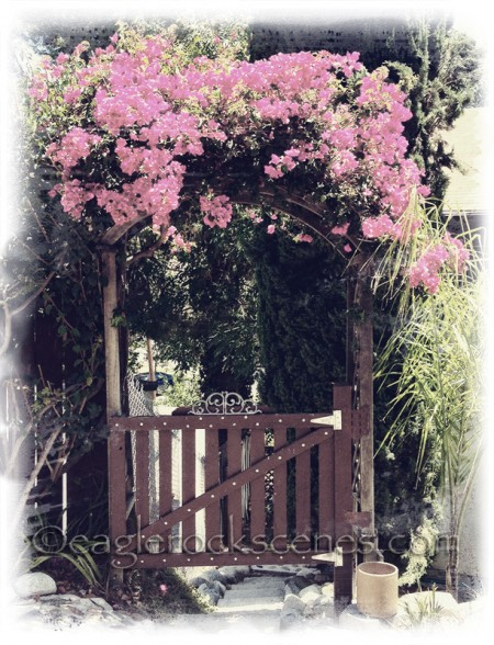 Bougainvillea Over Gate