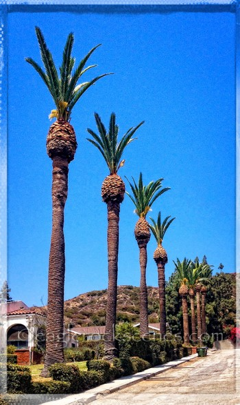 palm trees or feather dusters?
