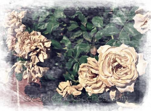 fading white roses