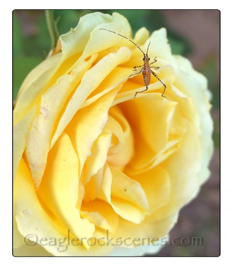 A rose with a bug on it