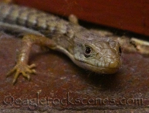 Alligator lizard - close up