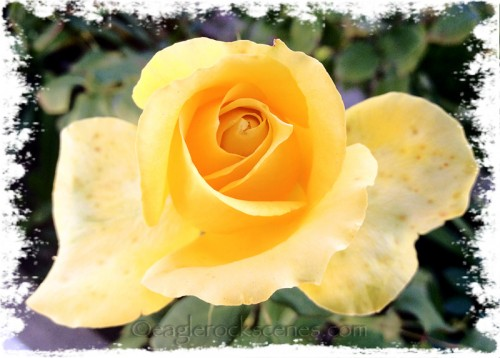 Winter roses don't have the oomph of spring and summer ones
