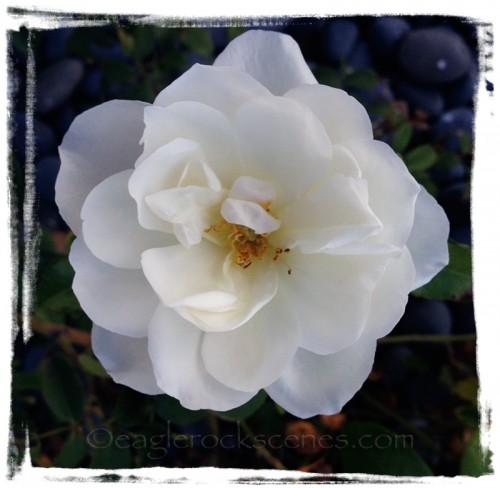 White Rose, no effects