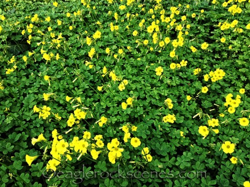 clover with yellow flowers