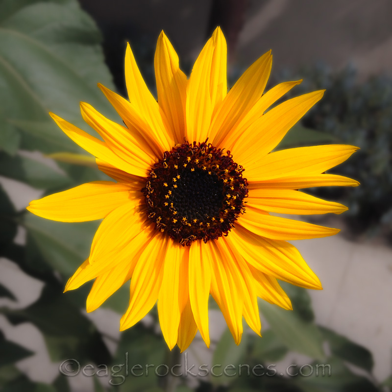 sunflower in winter