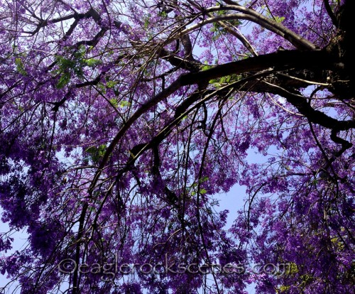 jacaranda tree with purple blooms