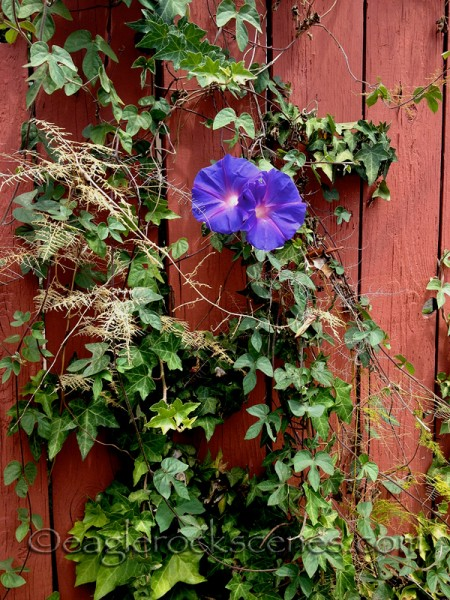 Morning glories and some ivy