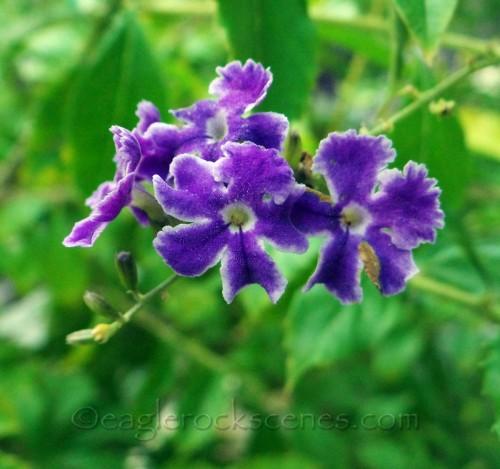Some sort of little purple flowers