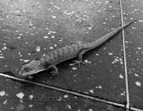 alligator lizard on Hollywood Blvd. and Cherokee Ave.