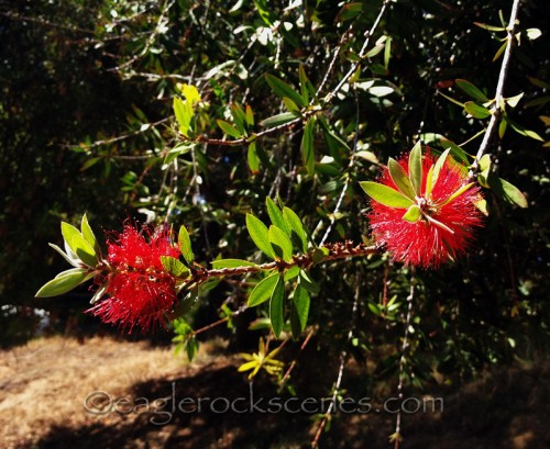 a red bottle brush