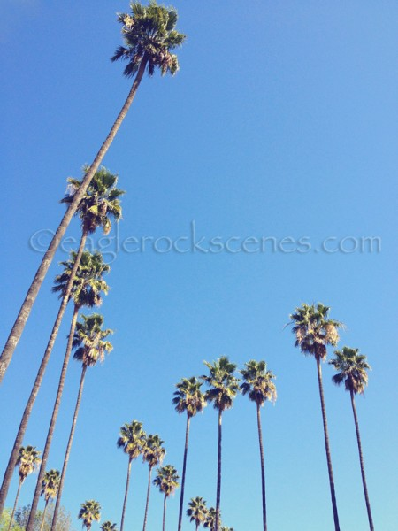 Palm trees on Hill Drive