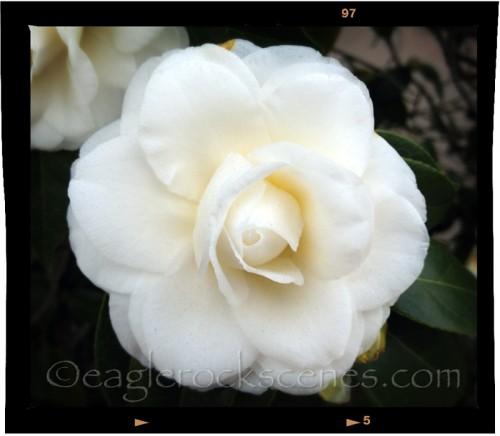 One perfect white camellia