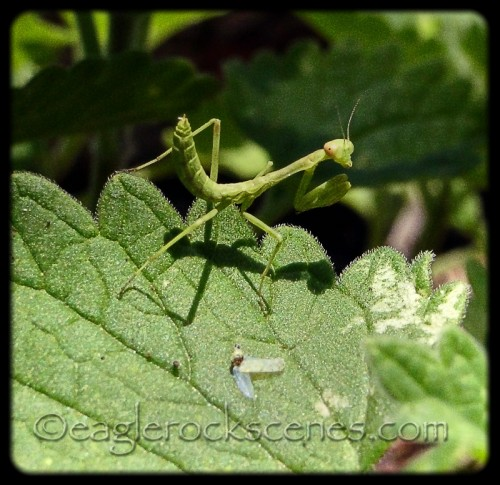 baby praying mantis, about a half inch long