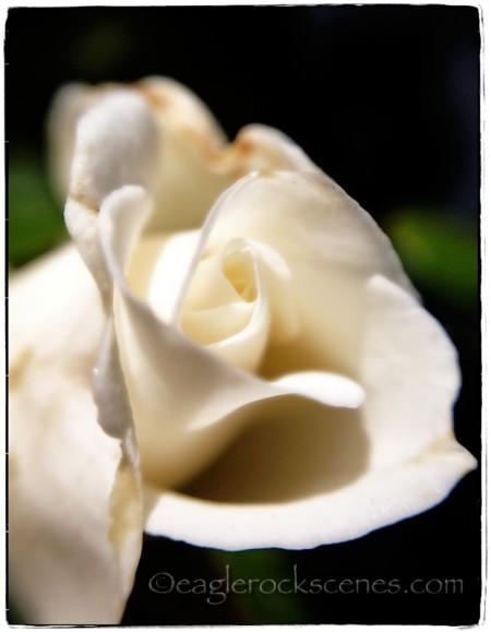 White opening rosebud