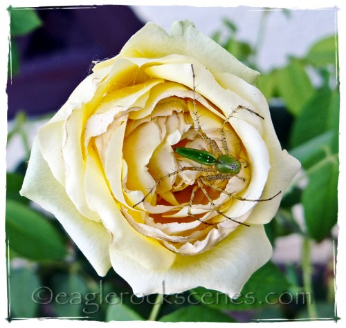 Hairy-legged bug on a yellow rose