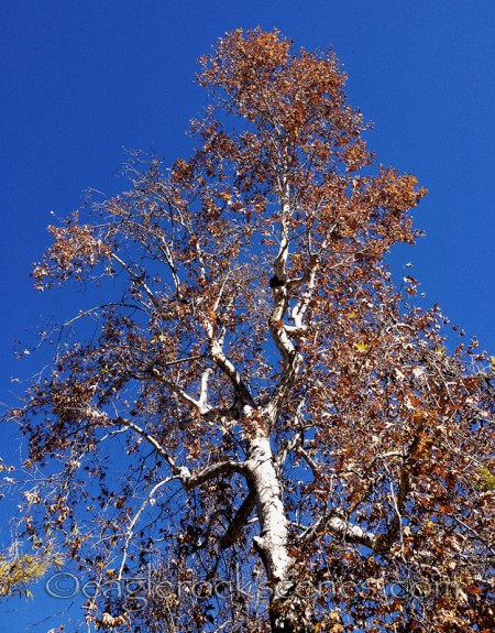 A winter tree in Eagle Rock