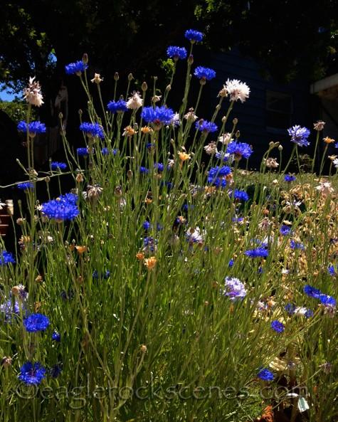 Wildflowers in Eagle Rock