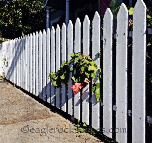 white picket fence with geranium