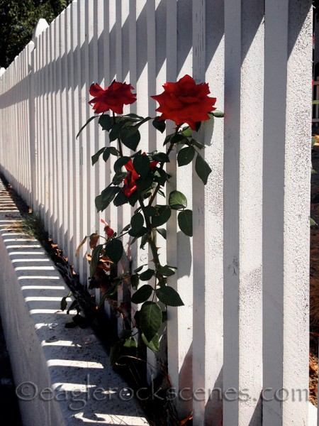 red roses by a white picket fence