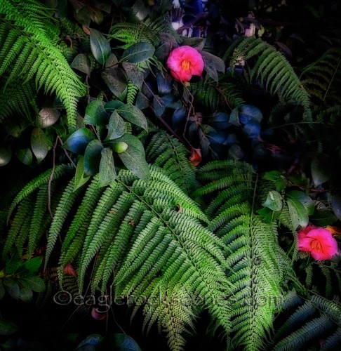 ferns and hot pink camellias