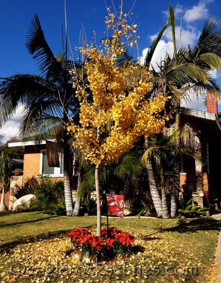 Yellow falling leaves, palm trees and poinsettias - yep, it's all there